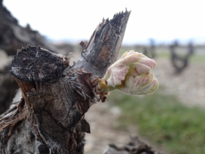Bud Burst/ Bud Break- Stage 2